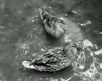 Double Ducks